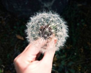 20150220_dandelion_coley_christine