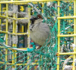 sparrow in trap
