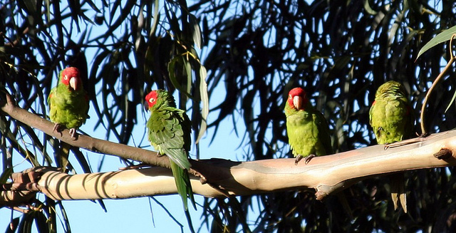 "What the Parrots of Telegraph Hill and Other ""Invasive Species"" Can Teach the Church"